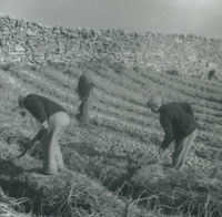 Photograph of 3 men digging up potatoes.