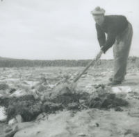 Photograph Peter 'Phatch' Faherty with a spade manuring a small patch of ground, Inishmore, Aran Islands