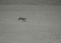 Photograph of 2 greyhounds coursing a hare.