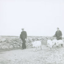 Photograph of two men herding four pigs along a road on the Aran Islands