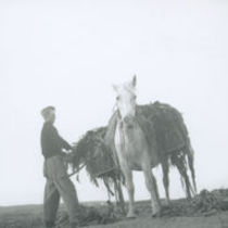 Photograph of Peter 'Phatch' Faherty loading seaweed onto the back of his pony.