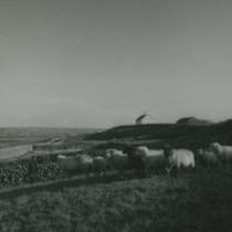 Photograph of a herd of sheep in a field by the sea shore, Aran Islands