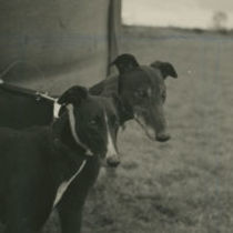 Photograph of the head and shoulders of two greyhounds at a coursing meeting